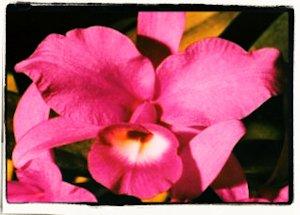 Guaria Morada- Flor Nacional